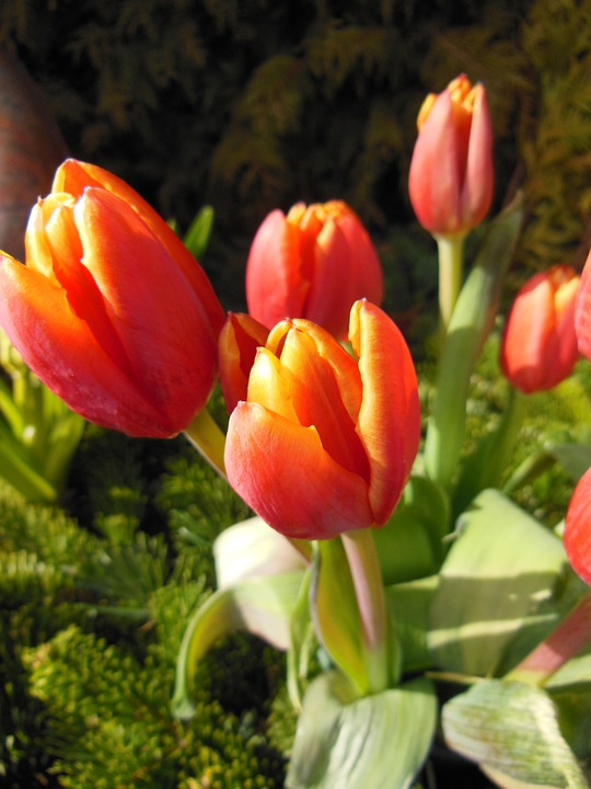 Tulips, Orange, Red, Spring Tulips, Green, Plants
