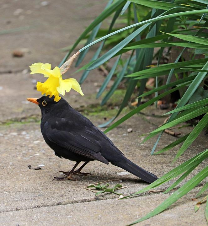 Free photo Spring Underneath Daffodil Blackbird Bird Hiding