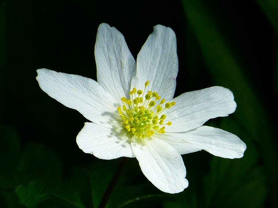Wood Anemone, Spring, Flower, Blossom, Bloom, White