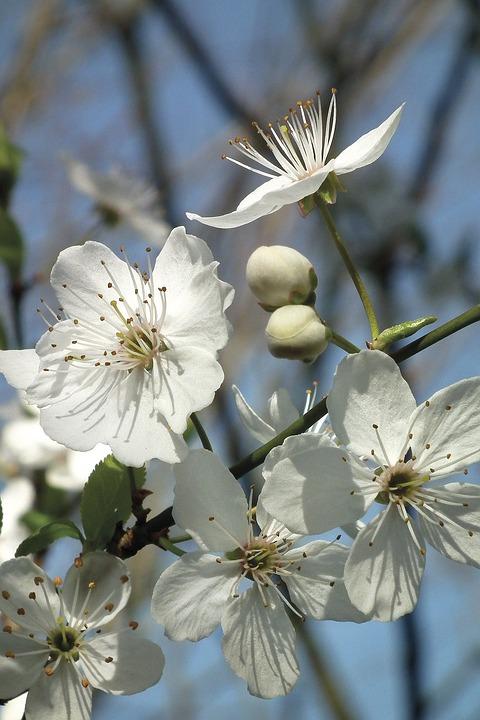 Blossom, Bloom, White, Spring, Fruit Tree