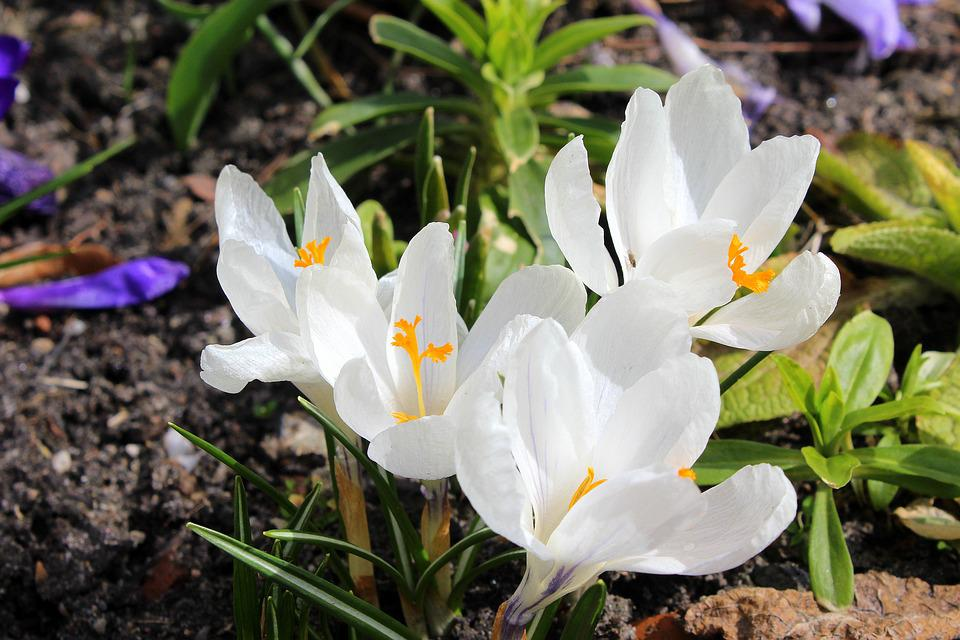 Free photo spring white crocus nature spring flowers flower max pixel crocus spring flowers spring white flower nature mightylinksfo