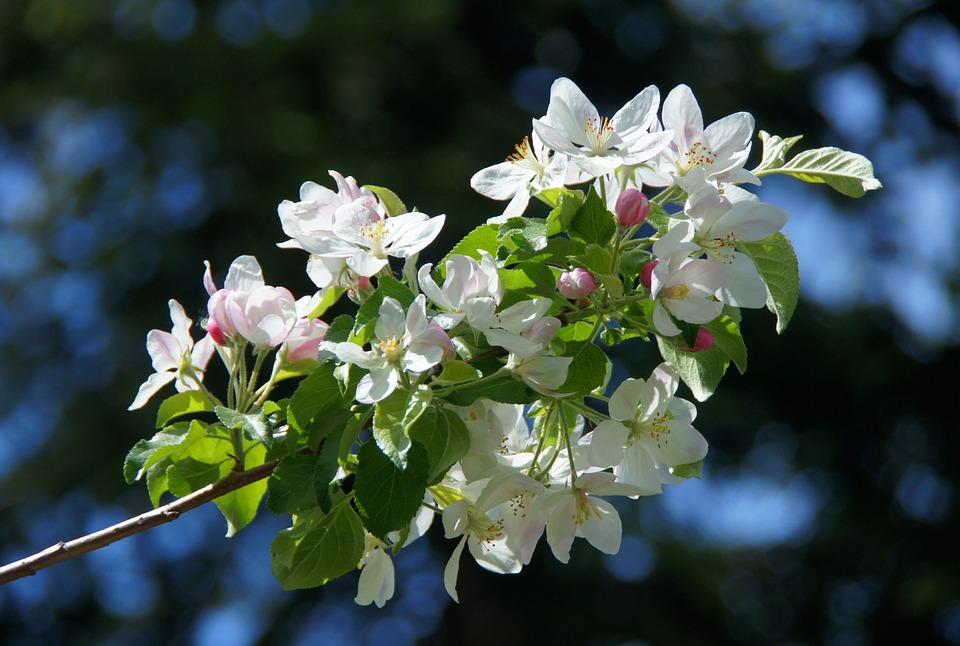 Free photo spring white flower white apple blossom apple tree max apple blossom white apple tree spring white flower mightylinksfo