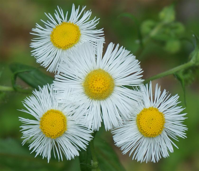 Plants, Flowers, Fleabane, White, Spring, Garden