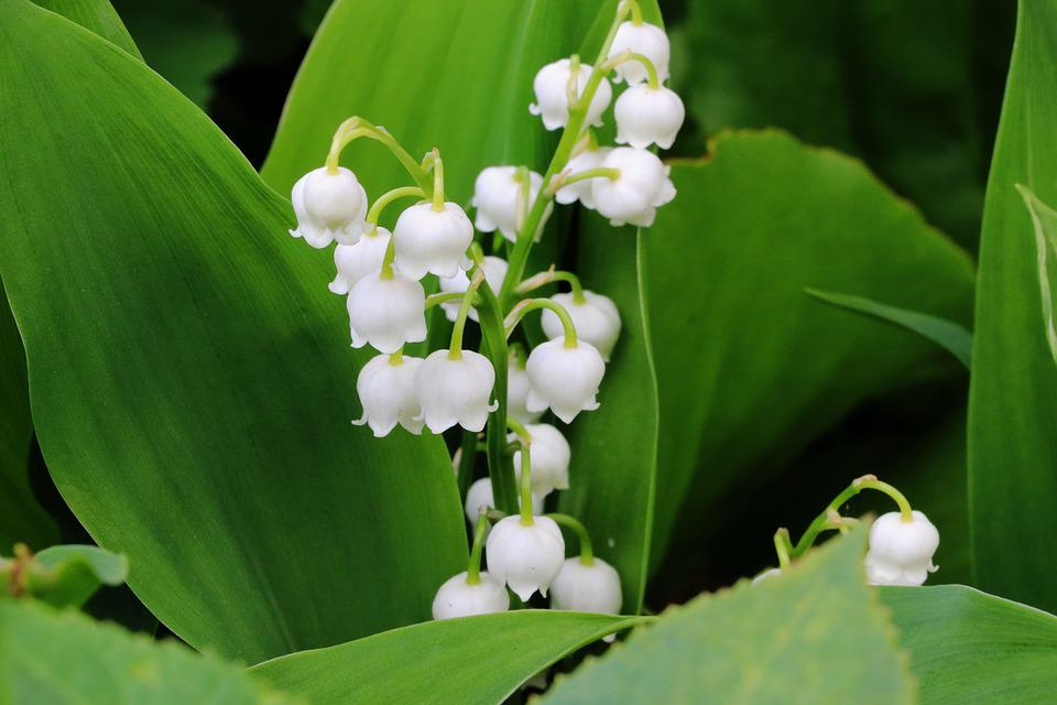Free photo spring white lily of the valley flower nature max pixel lily of the valley flower spring white nature mightylinksfo
