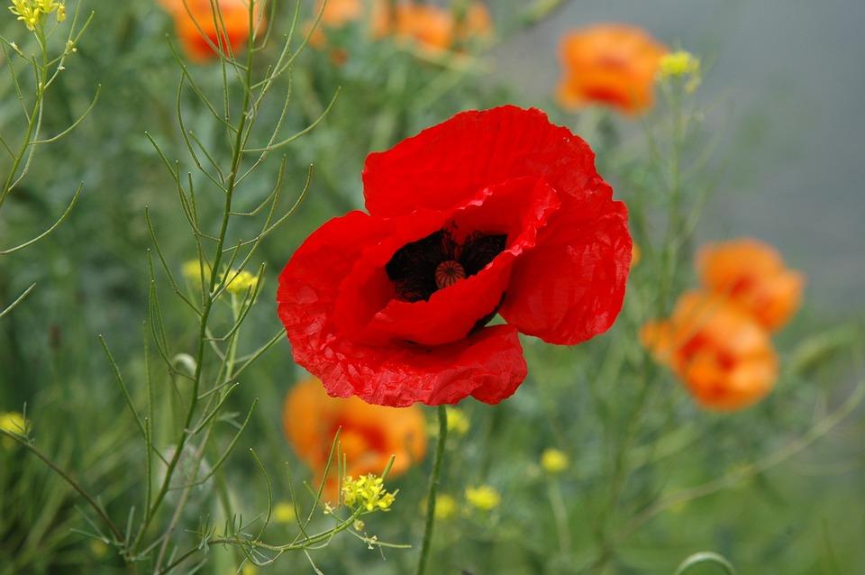 Spring, Wild, Red Poppy