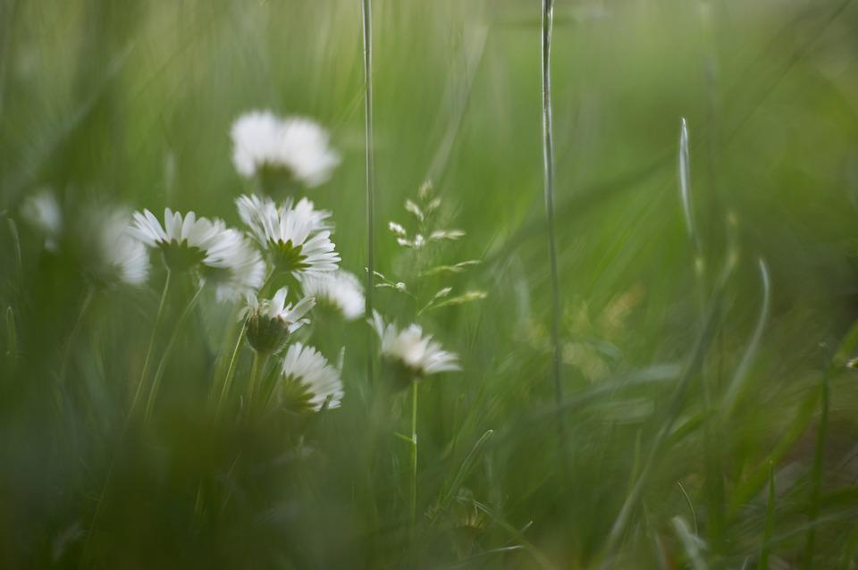 Daisy, White, Daisies, Flowers, Spring, Wildflowers