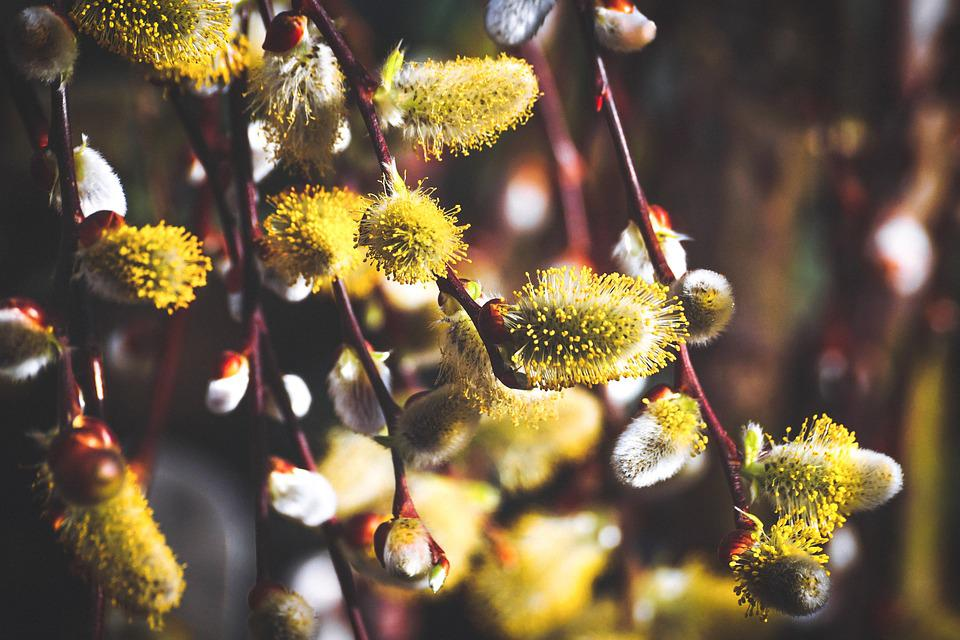 Willow Catkin, Flowers, Spring, Grazing Greenhouse