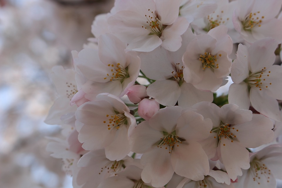 Cherry Blossom, Spring, Flowers, Wood