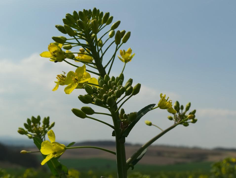 Oilseed Rape, Rare Plant, Yellow, Spring