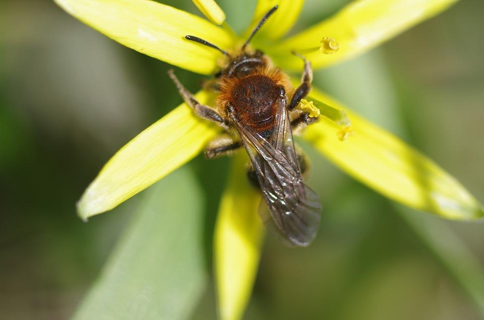 Wild Bee, Yellow Star, Nature, Macro, Close Up, Spring