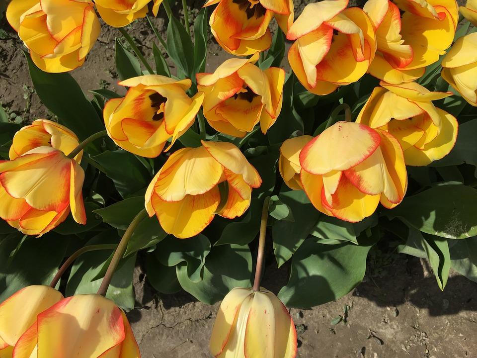 Yellow, Tulips, Tulip Town, Washington, Usa, Spring