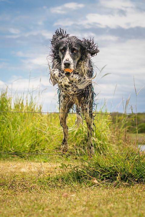 Free photo Springer Spaniel Springer Dog Layla Spaniel Pet - Max Pixel