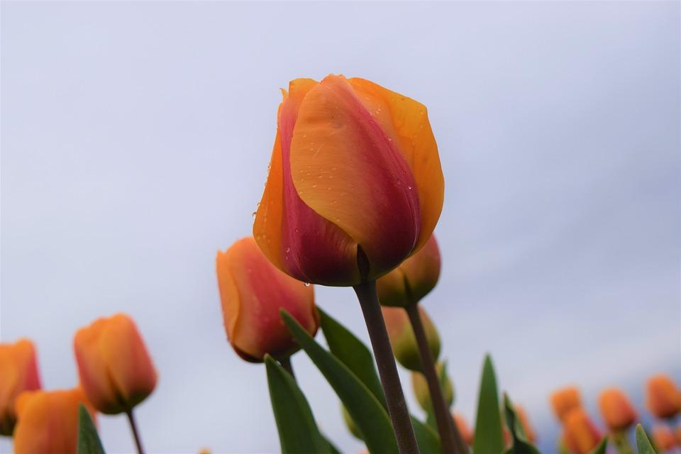Yellow, Orange, Tulips, Flowers, Field, Springtime