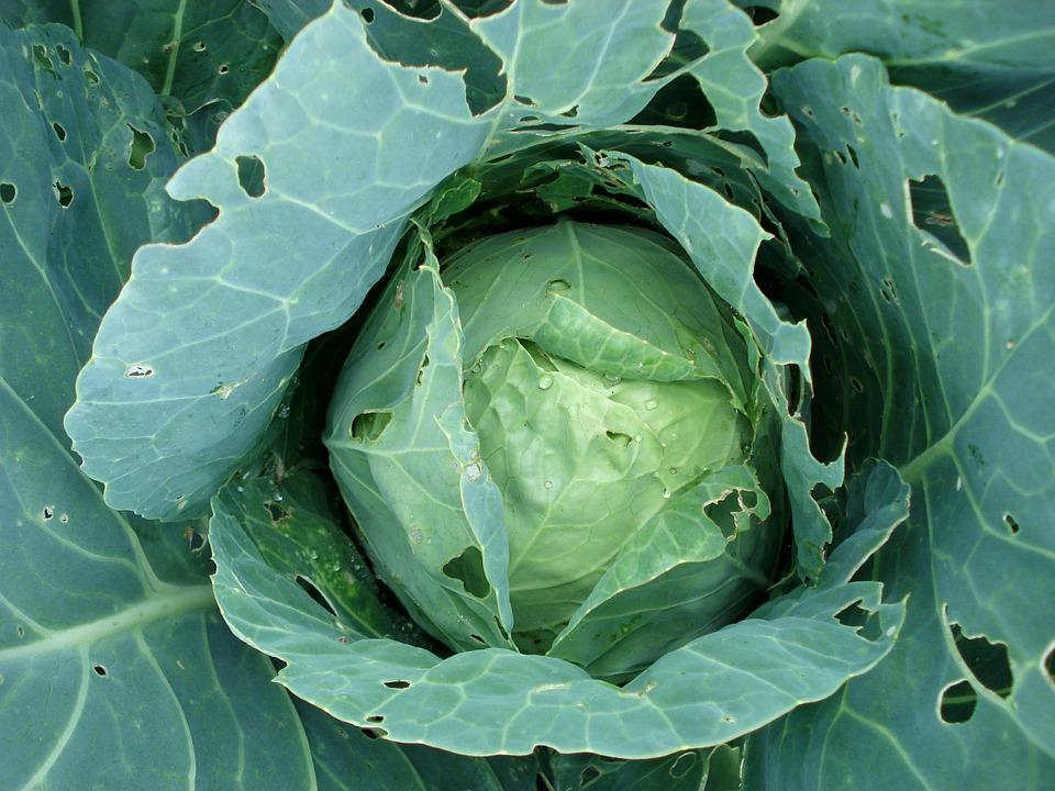 Cabbage, Sprouts, Cabbage Plants, Plant