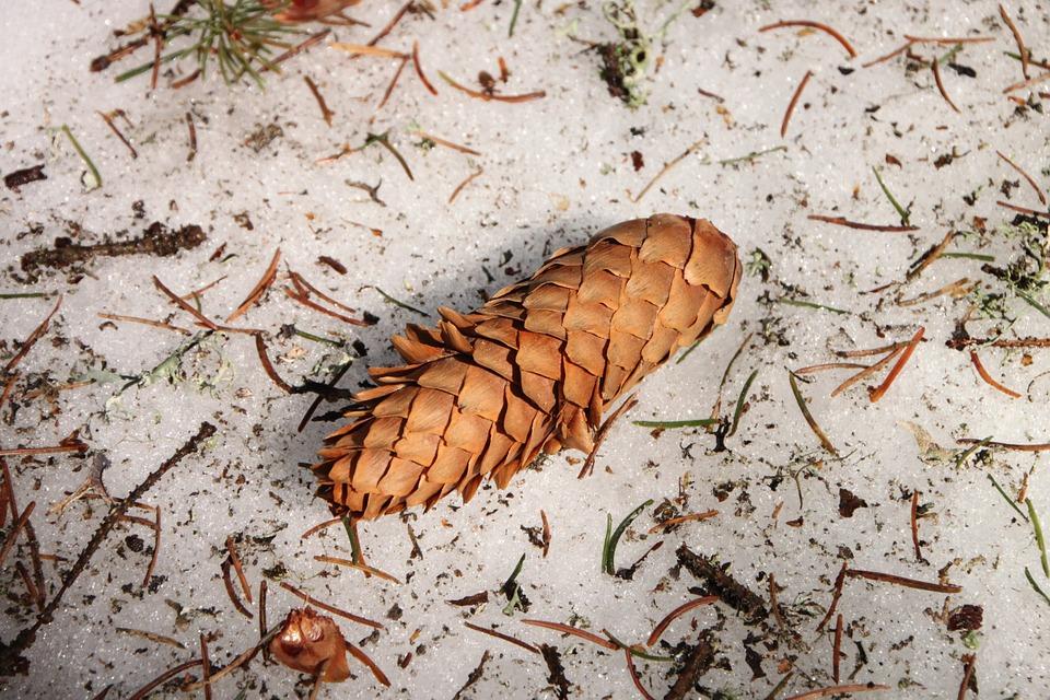 Cones, Frozen, Snow, Spruce, White, Winter