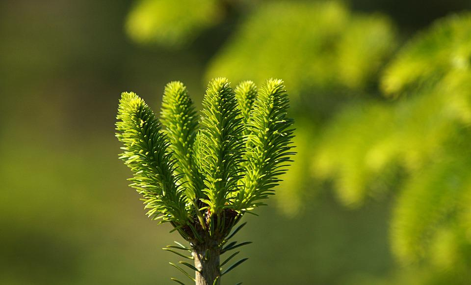 Spruce, Needles, New, Grown, Green, Conifer Show