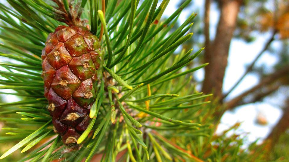 Pine Cone, Branch, Spruce, Pine, Green, Greens, Needles