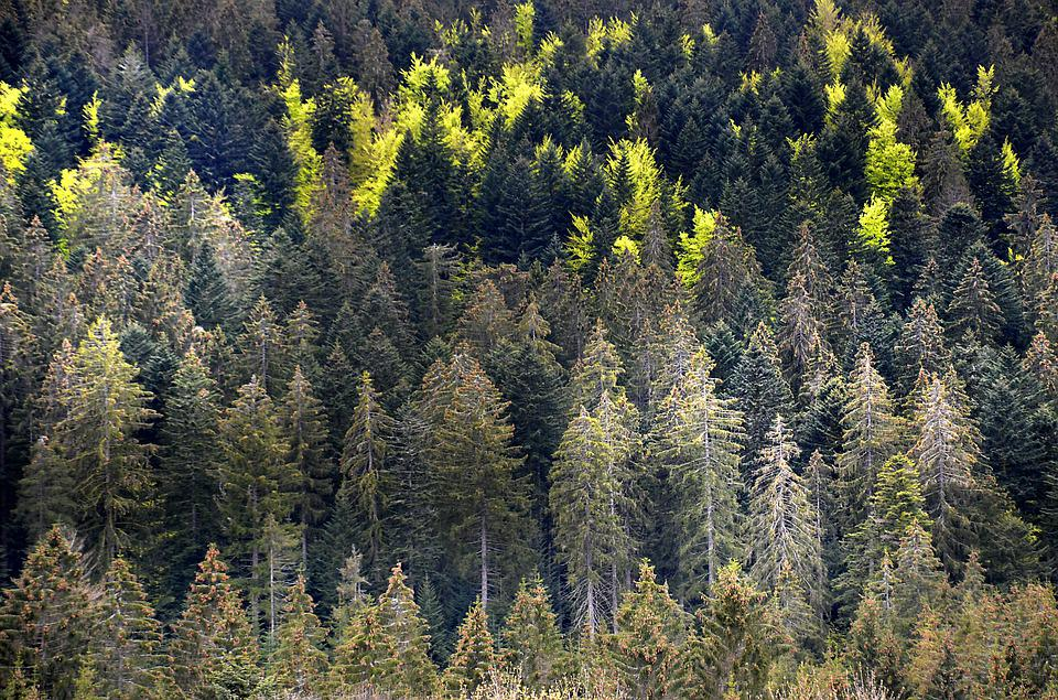 Drought, Heat, Climate, Disease, Forest, Spruce