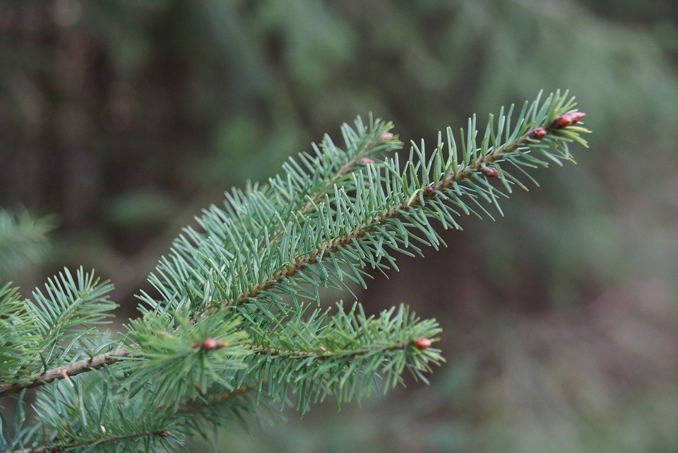 Conifer, Spruce, Tree, Green, Nature, Forest, Needles