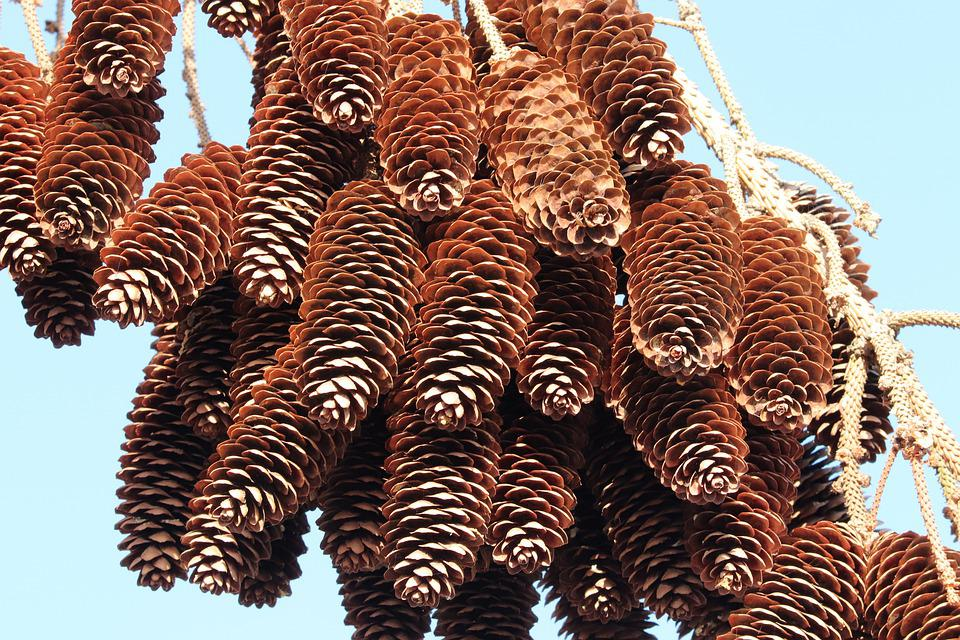 Pine Cones, Depend, Arid, Withers, Old, Spruce, Conifer