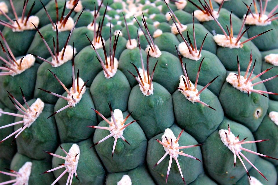 Cactus, Spur, Ball Cactus, Thorns, Cactus Greenhouse