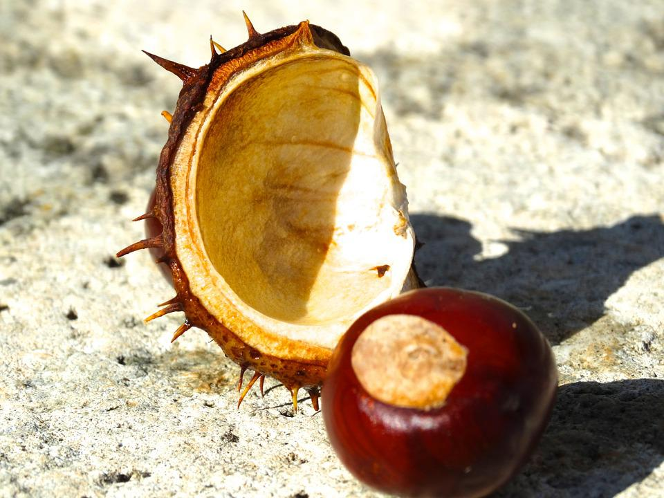 Chestnut, Chestnut Shell, Spur, Exposed, Brown, Reddish