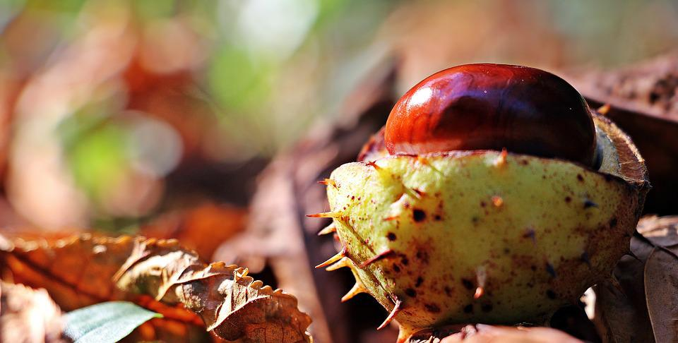 Chestnut, Autumn, Leaves, Spur, Open, Open Chestnut