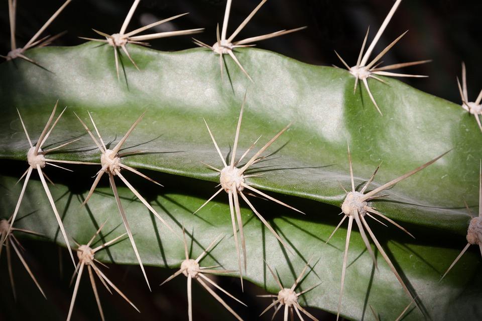 Cactus, Spur, Plant, Cactus Greenhouse, Green, Nature