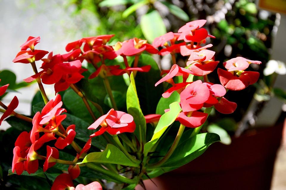 Spurge, Red, Spring Flower