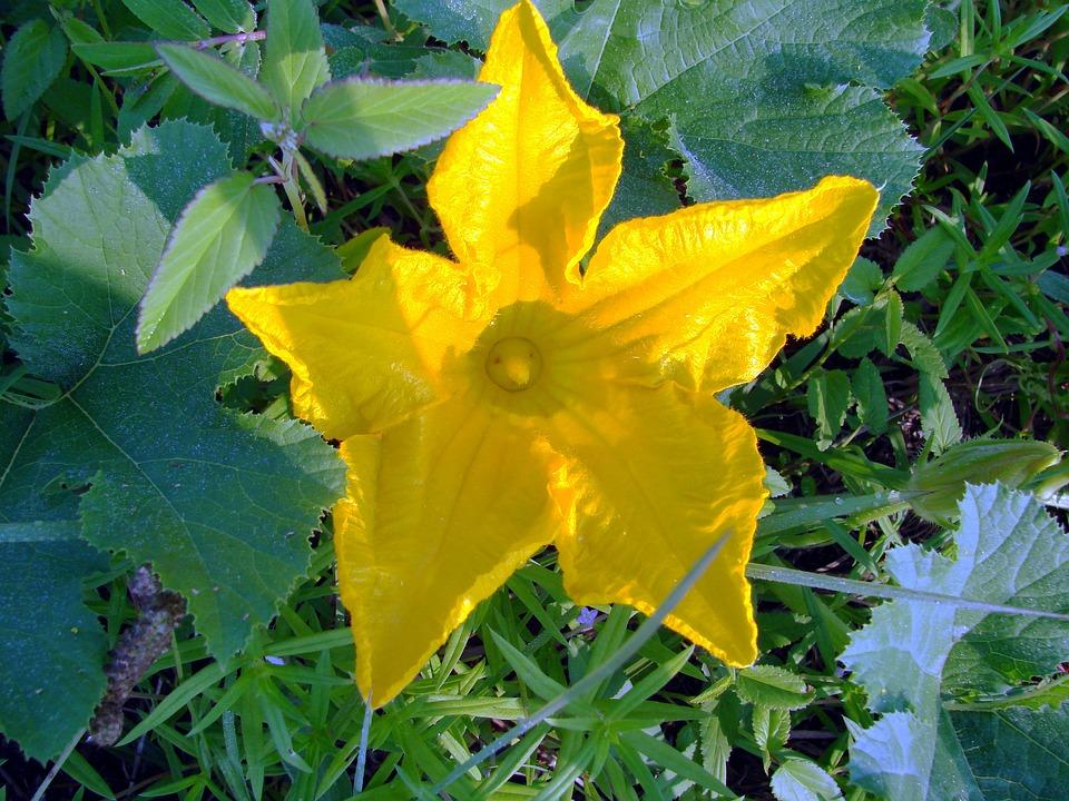 Squash, Flower, Yellow, Cucurbita, Cucurbitaceae, Vine
