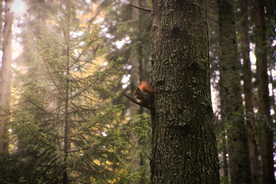 Squirrel, Forest, Nature, Tree, Animal World, Walk