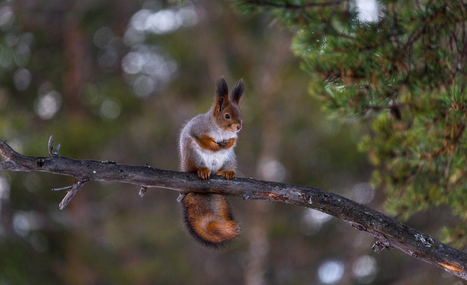 Squirrel Red Tree Funny Curious Cute Nature