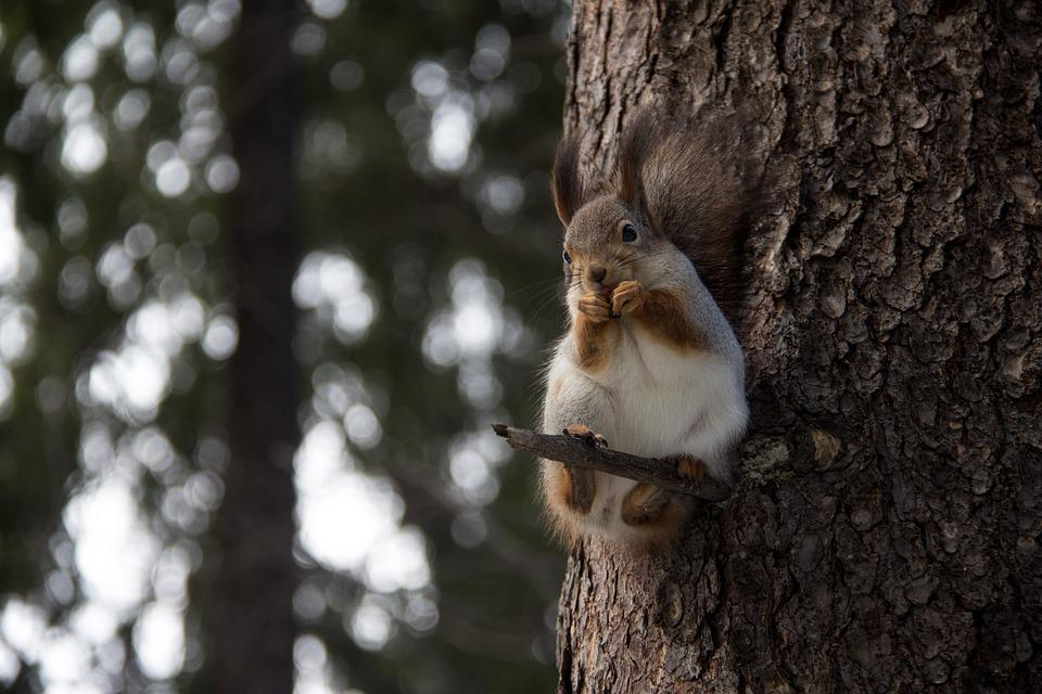 Squirrel, Protein, Forest, Nature, Trees, Stroll