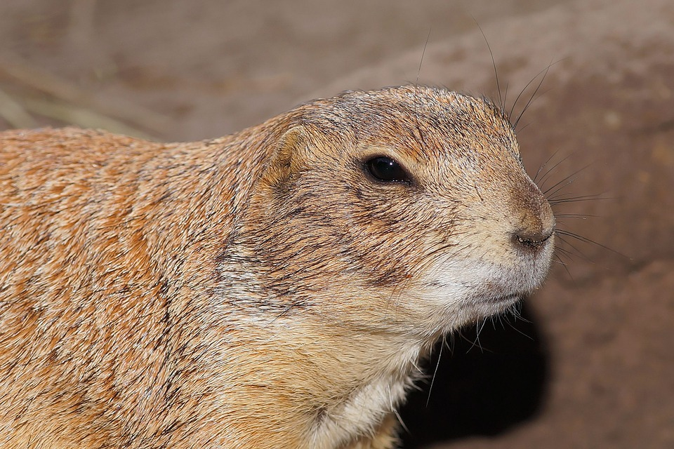 Prairie Dog, Croissant, Rodent, Squirrel Related, Cute