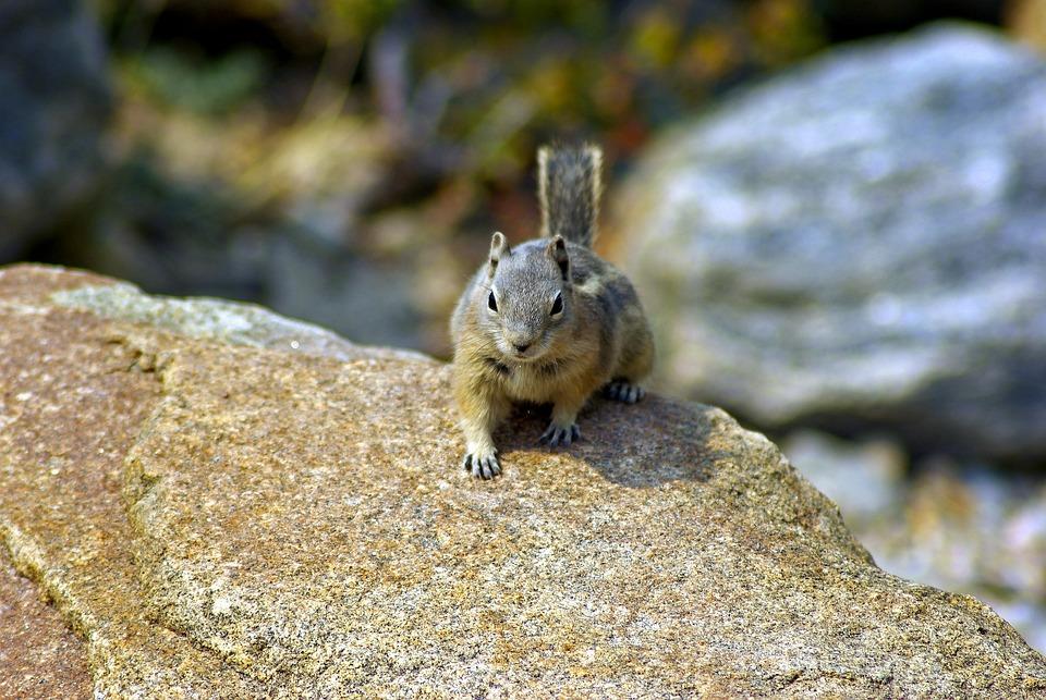 Roaring River Ground Squirrel, Ground, Squirrel, Golden
