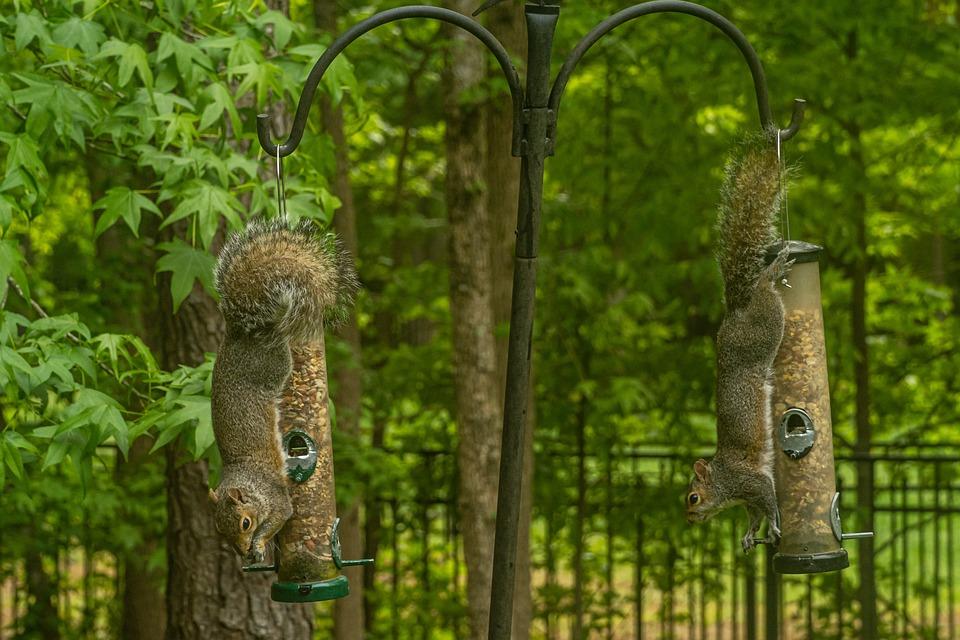 Squirrel Thief, Squirrel Upside Down