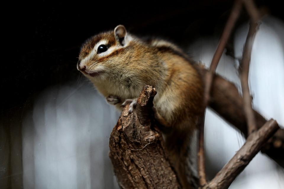 Squirrel, Chipmunk, Rodent, Animal, Nature, Wild