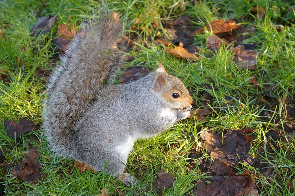 Squirrel, Squirrel With Nuts, Wildlife, Eating, Mammal