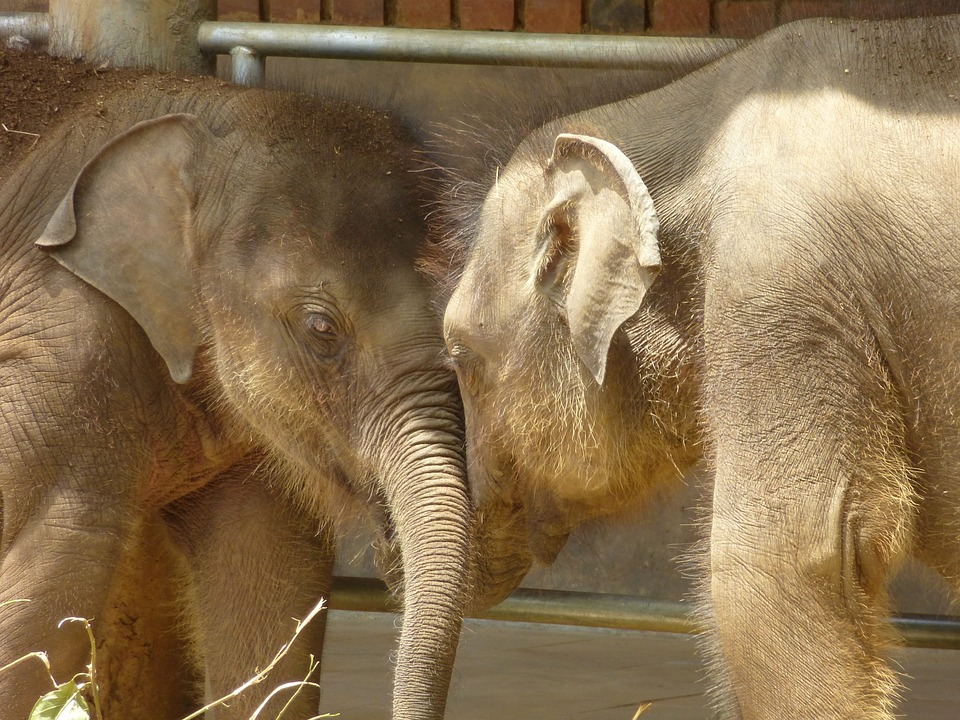 Baby Elephant, Animals, Sri Lanka, Elephant
