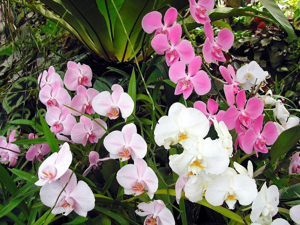 Sri Lanka, Orchid, Exotic Flower, Pink