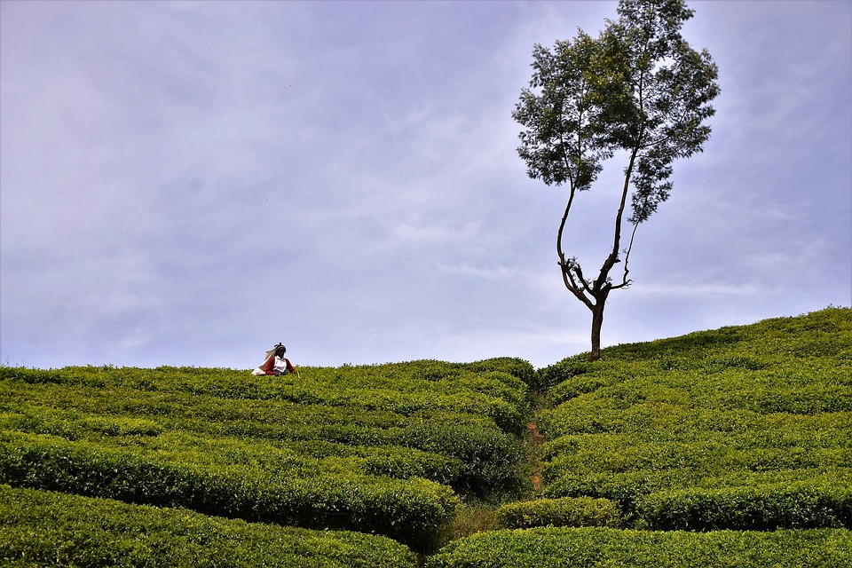 Tea Plantation, Tea Harvest, Sri Lanka