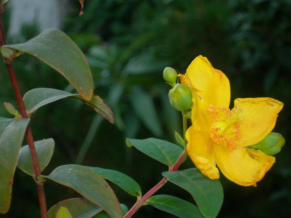 St John's Wort, Flowers, Yellow, Buds, Night, Flowering