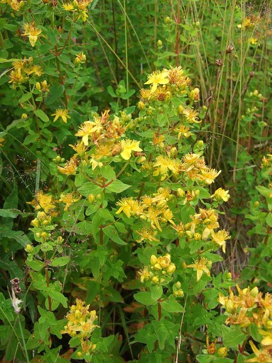 Wild Herb, St John's Wort, Medicinal Herbs, Wild Herbs