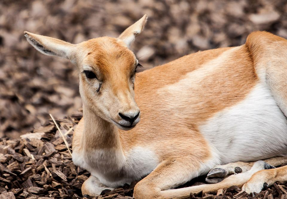 Stag-goat-antelope, Animal, Mammal, Antelope, Ungulate