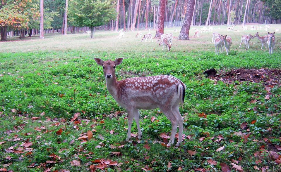 Doe, Fallow Deer, Fur, Stains, Antler, Scoop, Graze