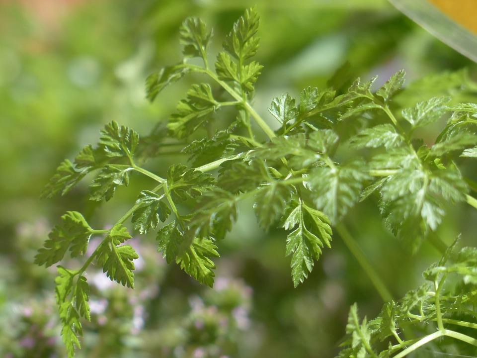 Chervil, Kitchen Herb, Herb, Leaves, Stalk, Plant