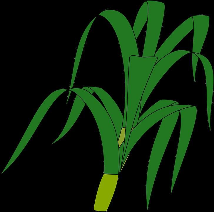 Grass, Stalk, Green, Plant, Stem, Isolated, Botanical