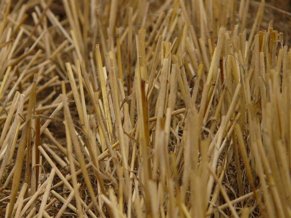 Glean, Stubble, Harvest, Cereals, Stalk, Halme