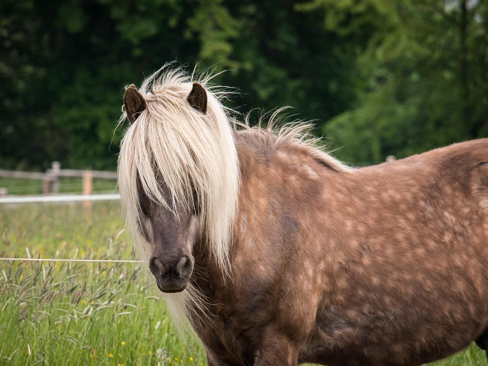 Horse, Stallion, Mane, Blond, Brown, Curious, Farm