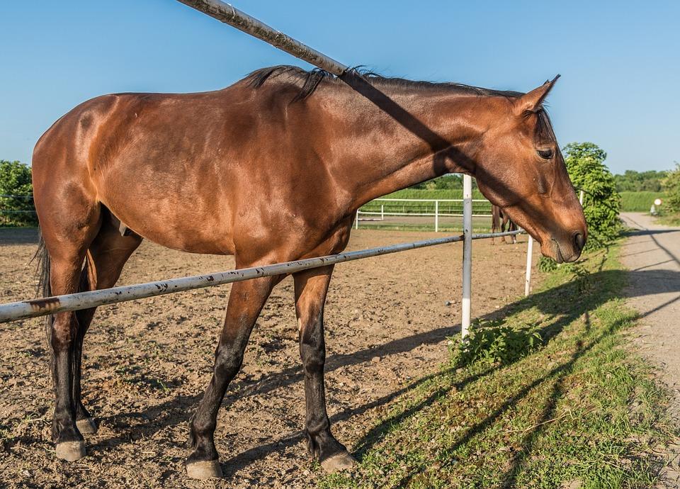The Horse, Stud, Chestnut, Brown, Stallion, Mare